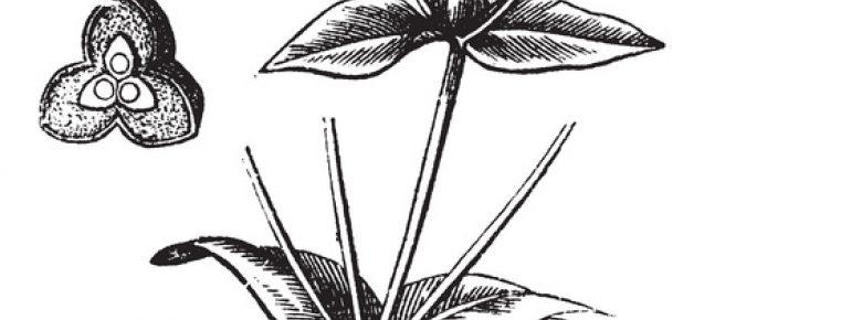 Euphorbia ipecacuanha; © Urheber: Morphart / fotolia