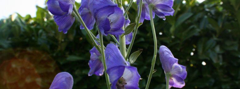 Aconitum Napellus; Foto: F. Stempfle