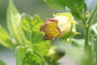 Belladonna; Foto: F. Stempfle