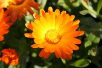 Calendula Officinalis (Ringelblume);  Foto: © F. Stempfle