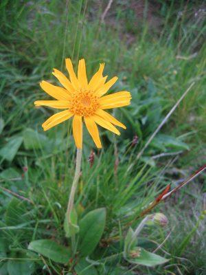 Arnica montana; Foto: F. Stempfle