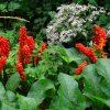 Arum Italicum; Foto: H. Zell